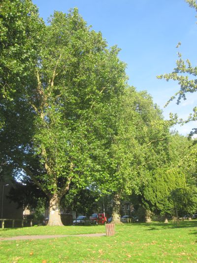Felling of mature london plane trees on alexandra gardens for Garden trees london