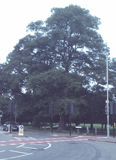 Consultation documents relating to Cambridge City Council's proposed tree works on Lammas Land reveal the two substantial trees at the junction of Newnham Road and Barton Road may be felled.