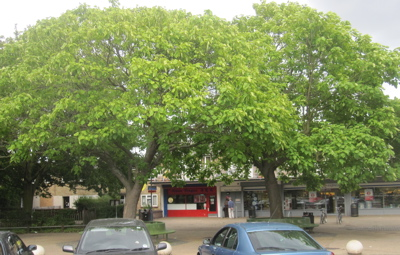 Cambridge City Council is Considering Felling Two Trees In-front of Tesco on Campkin Road in Cambridge