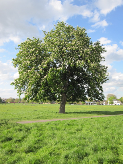 Horsechestnut Tree on Midsummer Common