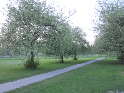 Three Cherry Trees to be Felled First