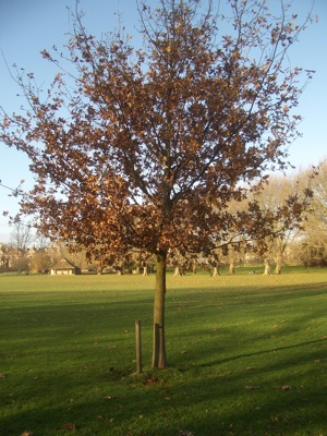 A healthy young oak tree which is just getting established is another of the 59 trees on Jesus Green under threat.