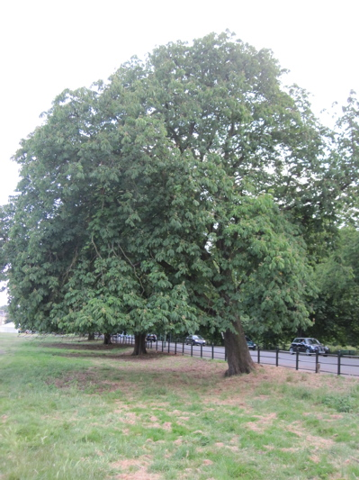 Leaning Horse Chestnut Tree in the Avenue of Trees either side of Victoria Avenue.