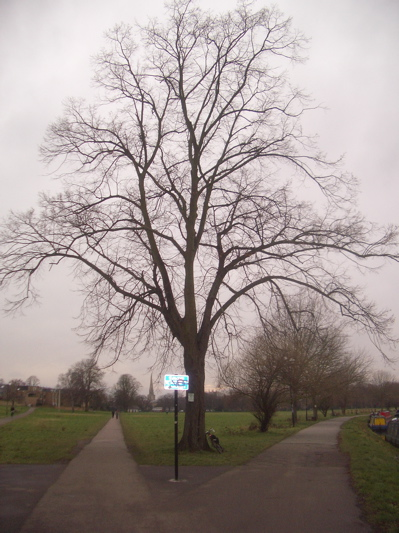 Tree to be felled on Midsummer Common, Cambridge