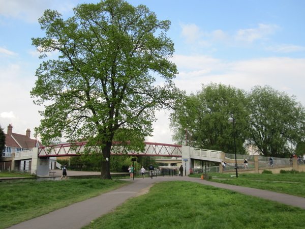 Lime tree to be felled by Cutter Ferry Bridge