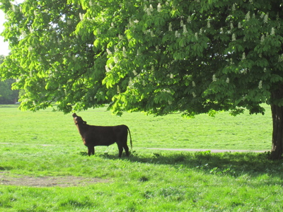 Cow Enjoying Licking a Chestnut Tree on Midsummer Common, Cambridge